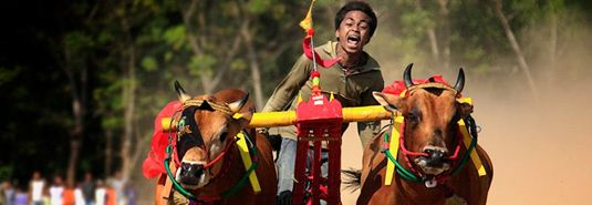 Madura bull racing: a jockey with his bulls at the karapan sapi in Madura